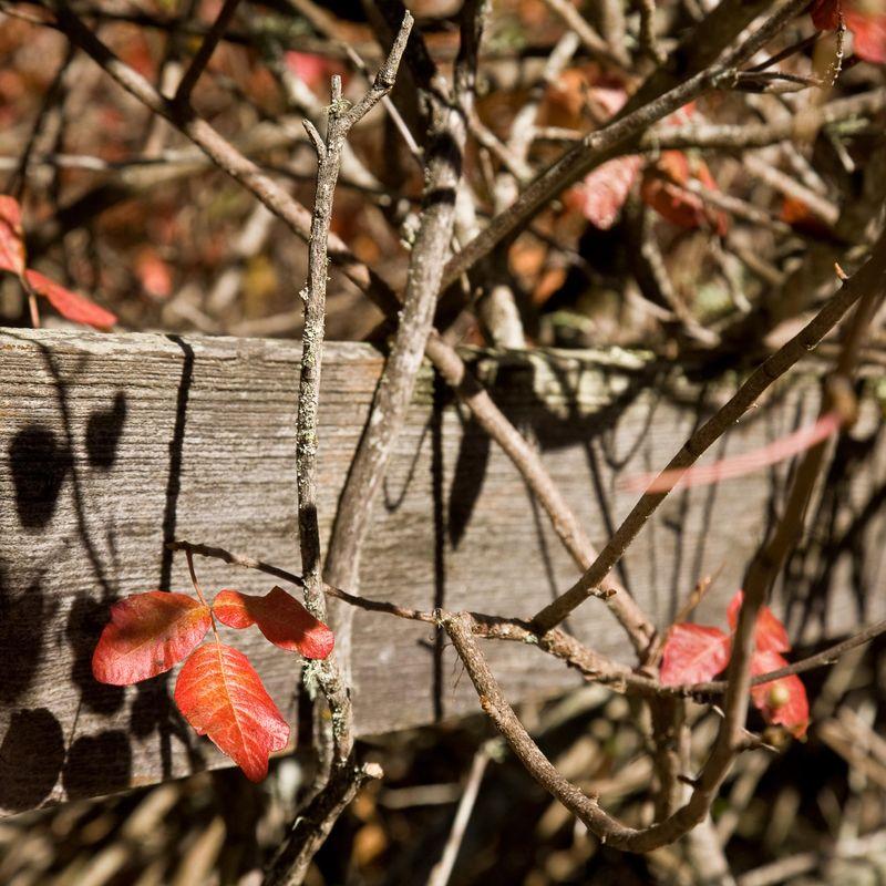 Poison Oak-1237
