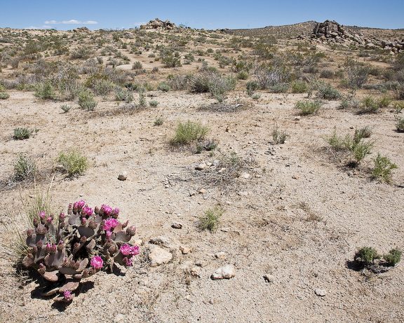 Mojave vehical rec area Opuntia-3522