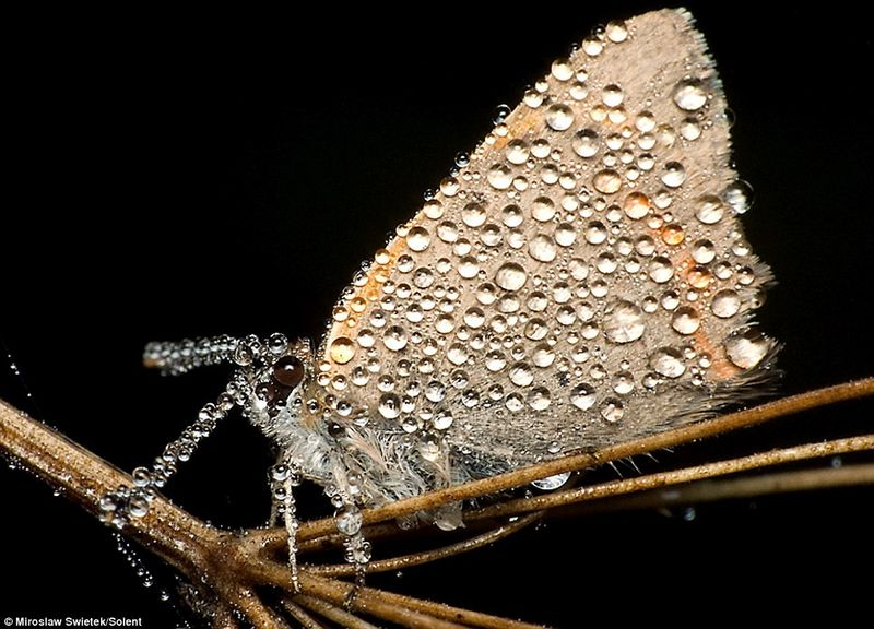 Moth with dew